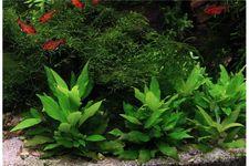 Kurzstängeliger Wasserfreund, Hygrophila corymbosa Kompakt, Topf – Bild 3