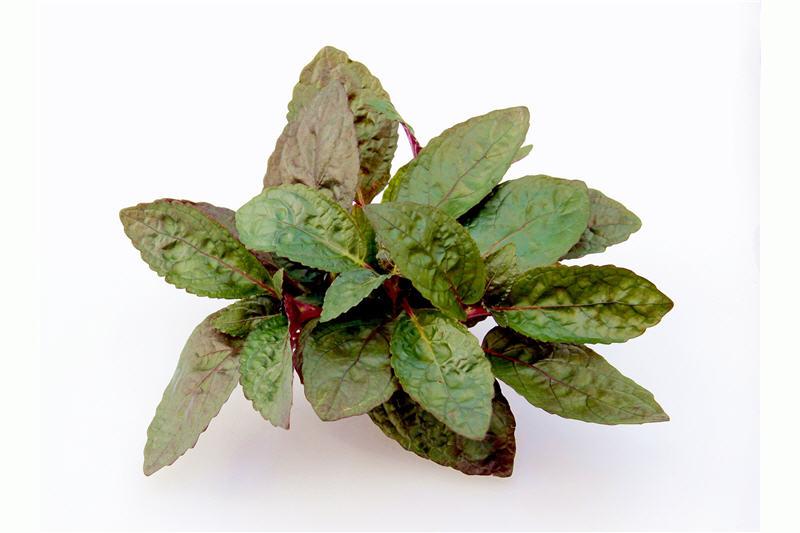 Noppenblatt, Hemigraphis colorata (Terrariumpflanze), Topf