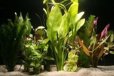 10 Aquariumpflanzen im Bund, gemischt