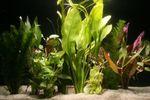 10 Aquariumpflanzen im Bund, gemischt 001
