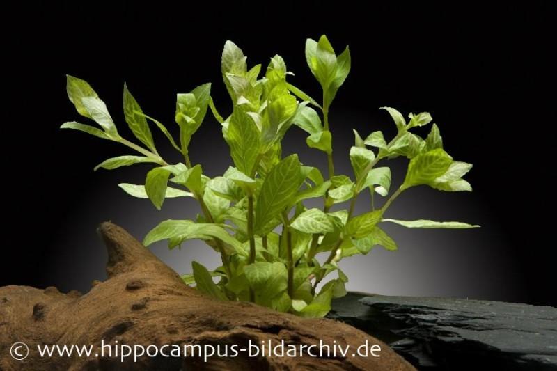 Sunset Wasserfreund, Hygrophila polysperma variegatus, Bund (alt. rosa nervis)