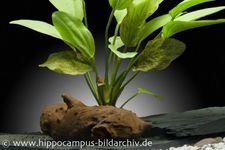 Echinodorus Osiris Rose, Topf