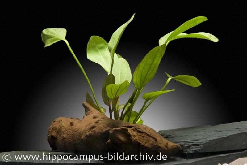 Echinodorus Osiris Doppelrot (Echinodorus x barthii), Topf