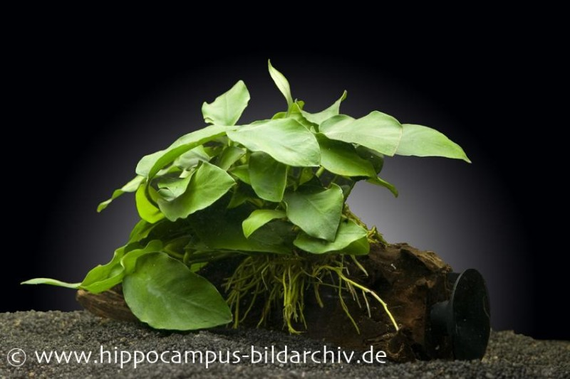 anubias nana auf wurzel mit sauger aquariumpflanzen. Black Bedroom Furniture Sets. Home Design Ideas