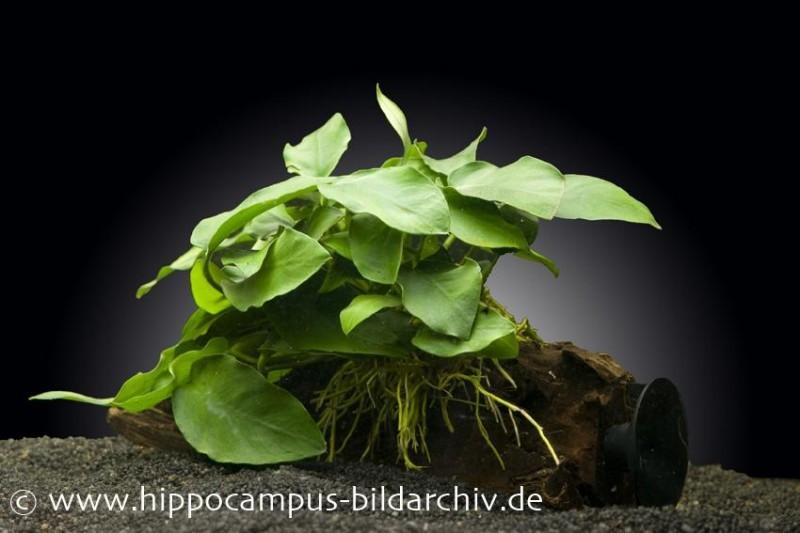 anubias nana auf wurzel mit sauger aquariumpflanzen. Black Bedroom Furniture Sets. Home Design Ideas