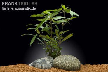Großer Wasserfreund, Hygrophila angustifolia, Topf