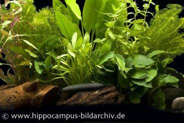Aquarienpflanzen Einsteigerset für 80 cm Aquarium