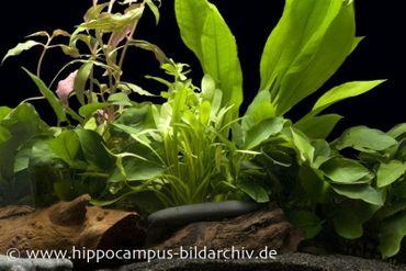 Aquarienpflanzen Einsteigerset für 100-120 cm Aquarium