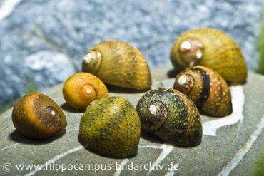Mini-Rennschnecken-Mix, Neritina sp.