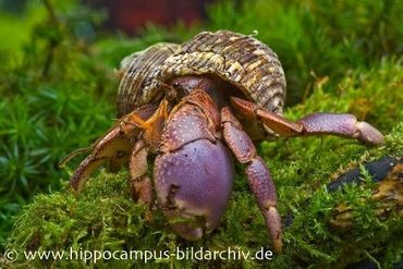 Landeinsiedlerkrebs, Coenobita brevimanus