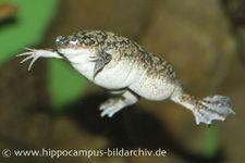 Krallenfrosch 'Natur', Xenopus laevis