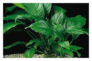 Verschiedenblättriges Speerblatt, Anubias heterophylla, Topf