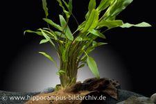 Dunkelgrüner Wasserkelch, Cryptocoryne walkeri/lutea, Topf