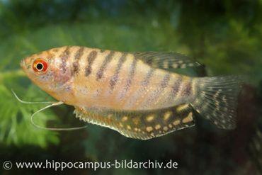 Goldener Fadenfisch, Trichogaster trichopterus