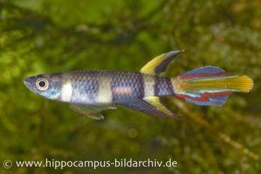 Ringelhechtling, Epiplatys annulatus (Minifisch)
