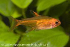 Funkensalmler, Hyphessobrycon amandae (Minifisch)