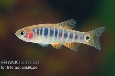 Querstreifen-Zwergbärbling, Danio erythromicron (Minifisch)