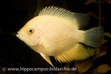 Goldener Augenfleck-Buntbarsch, Heros severus gold
