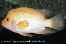 Zitronenbuntbarsch, Amphilophus citrinellus