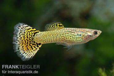 Guppy Männchen Cobra grün, Poecilia reticulata