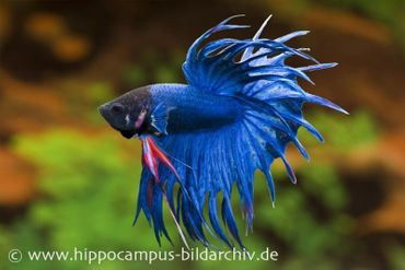 Crown Tail Kampffisch blau, Männchen, Betta splendens