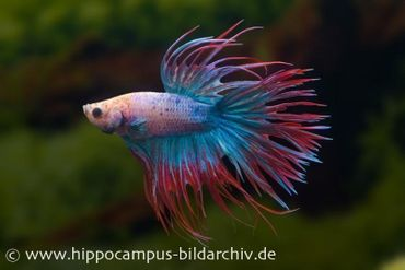 Crown Tail Kampffisch multicolor, Männchen, Betta splendens