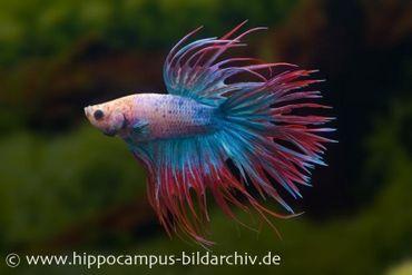 Crown Tail Kampffisch multicolor, Männchen, Betta splendens