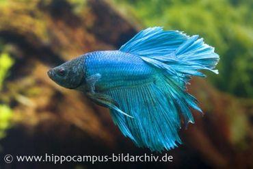 Halfmoon Kampffisch türkis, Männchen, Betta splendens