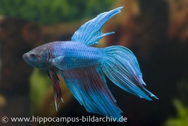 Betta splendens 'Long Tail türkis', Männchen