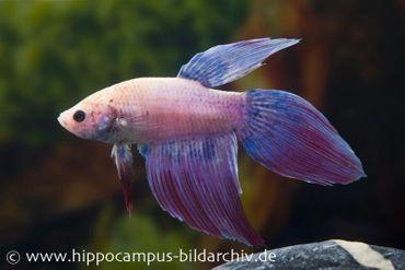 Long Tail Kampffisch mirabell, Männchen, Betta splendens