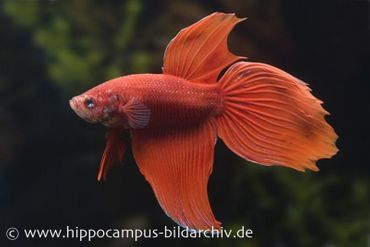 Long Tail Kampffisch rot, Männchen, Betta splendens