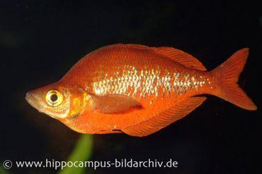 Lachsroter Regenbogenfisch, Glossolepis incisus