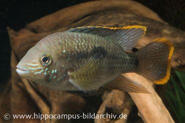 Goldsaumbuntbarsch, Aequidens rivulatus – Bild 2