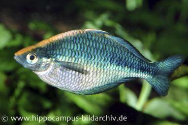 Türkis-Regenbogenfisch, Melanotaenia lacustris, DNZ 5-6 cm