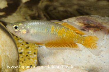 Parkinsons Regenbogenfisch, Melanotaenia parkinsoni