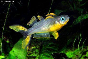 Gabelschwanz-Blauauge, Pseudomugil furcatus