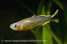 Gabelschwanz-Blauauge, Pseudomugil furcatus – Bild 3
