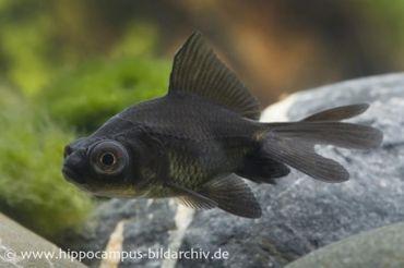 Goldfisch Black Moor, Carassius auratus, 4-5 cm (Kaltwasser)