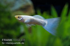 Guppy Männchen neonblau, Poecilia reticulata