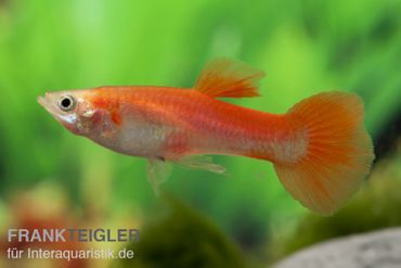 Guppy Männchen blond-rot, Poecilia reticulata – Bild 2