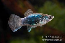 Platy Tuxedo blau, Xiphophorus maculatus