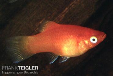 Platy Rot, Xiphophorus maculatus