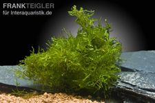 Javamoos, Vesicularia dubyana, 100 ml – Bild 1
