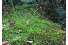 Nadelsimse, Eleocharis acicularis, Topf – Bild 4