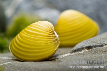 Zwergrillenmuschel, Anodonta/Corbicula sp. (Warm- & Kaltwasser)