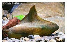 Haifischflossenmuschel, Hyriopsis bialatus