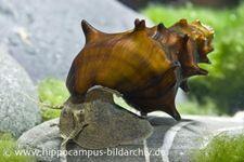 Stachelige Turmdeckelschnecke, Brotia pagodula