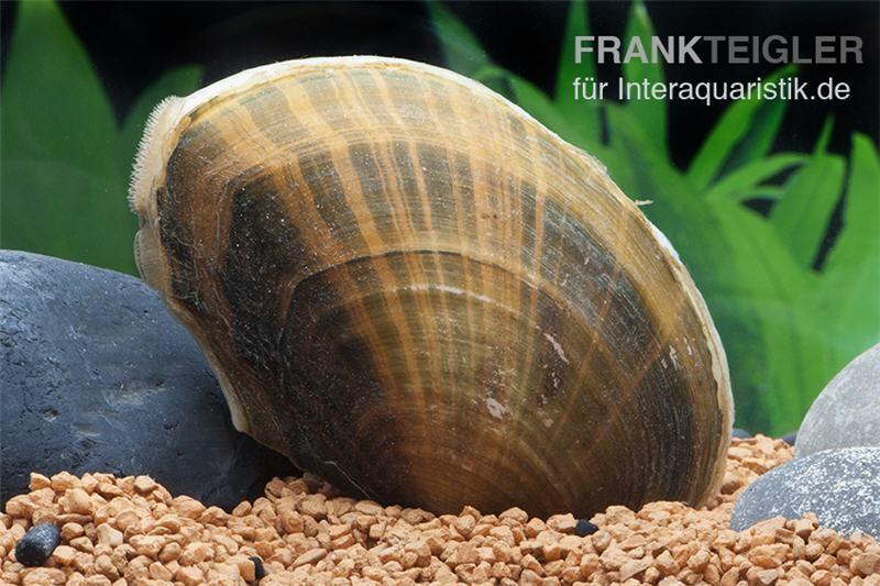 teichmuschel anodonta cygnea kaltwasser tiere muscheln