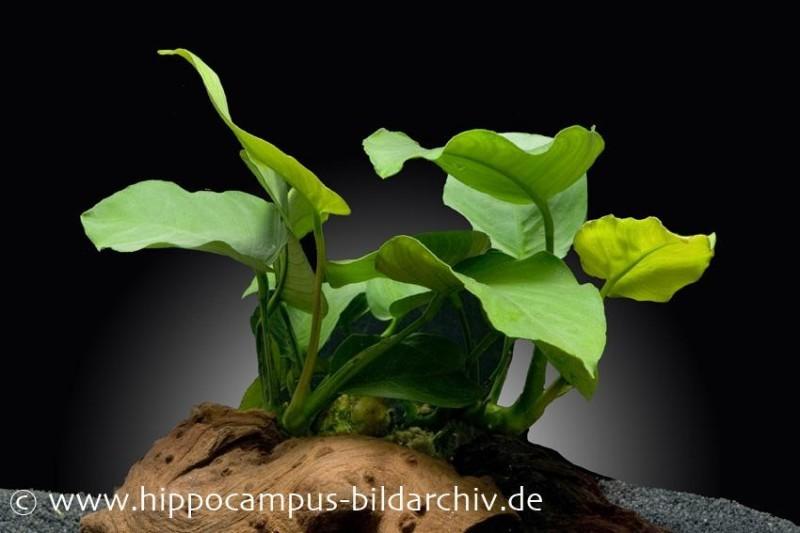 Breitblättriges Speerblatt, Anubias barteri, XL-Pflanze
