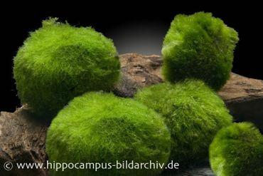 Mooskugel XL, Cladophora aegagropila